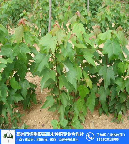 江蘇美國紅楓-12公分美國紅楓-紹剛苗木(**商家)