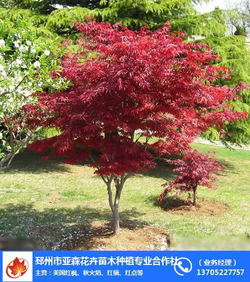 12公分美國紅楓價格-美國紅楓-邳州市亞森苗木