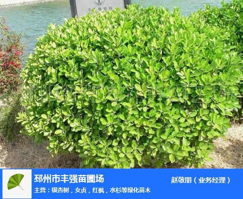 黃楊-邳州市豐強苗木-小葉黃楊價格