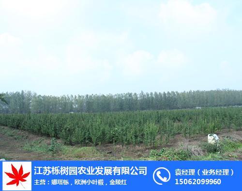 天津椴樹價格-5公分椴樹價格-櫟樹園農業(**商家)