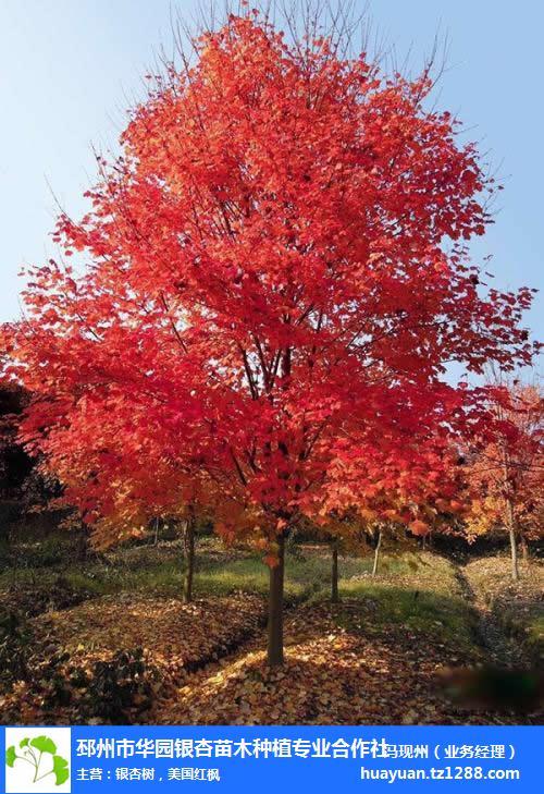 秋紅楓價格-紅楓價格-邳州市華園苗木