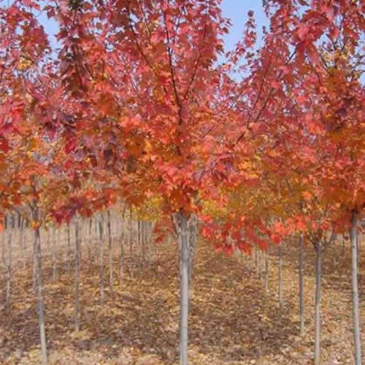 紅楓報價-邳州市千綠園林綠化-地徑20公分紅楓報價