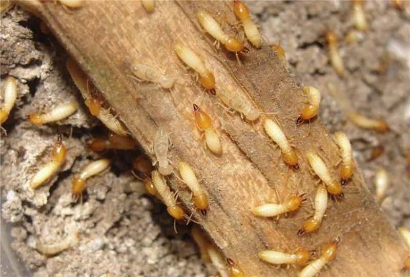裝修白蟻防治-木括源(在線咨詢)-漢南白蟻防治