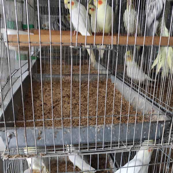 玄凤鹦鹉养殖合作-卉林养殖(在线咨询)-濮阳玄凤鹦鹉