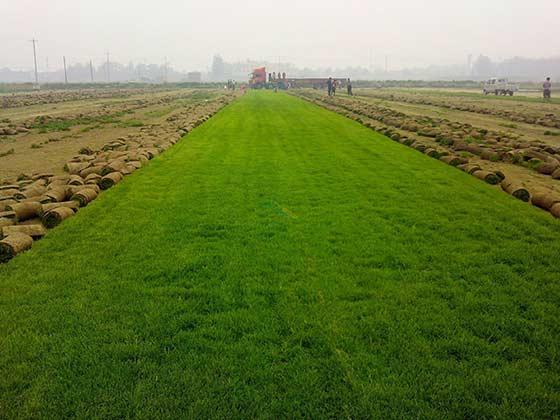 黑麦草草种图片/黑麦草草种样板图 (1)