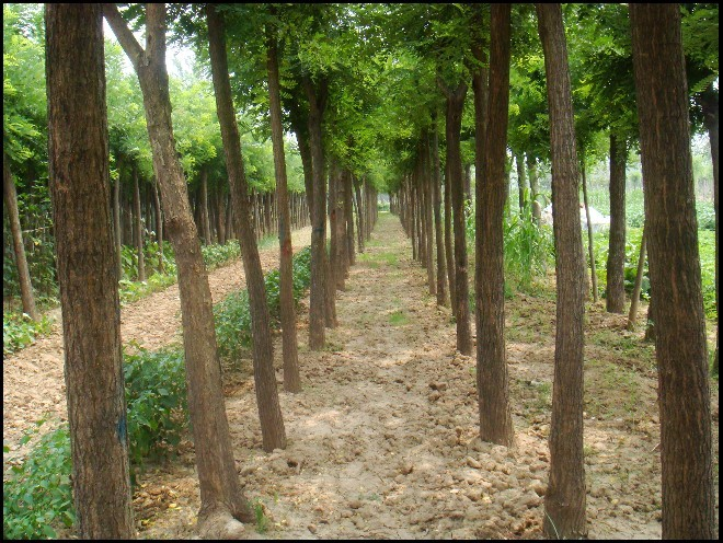 绿化工程、平盛苗圃、临沂绿化