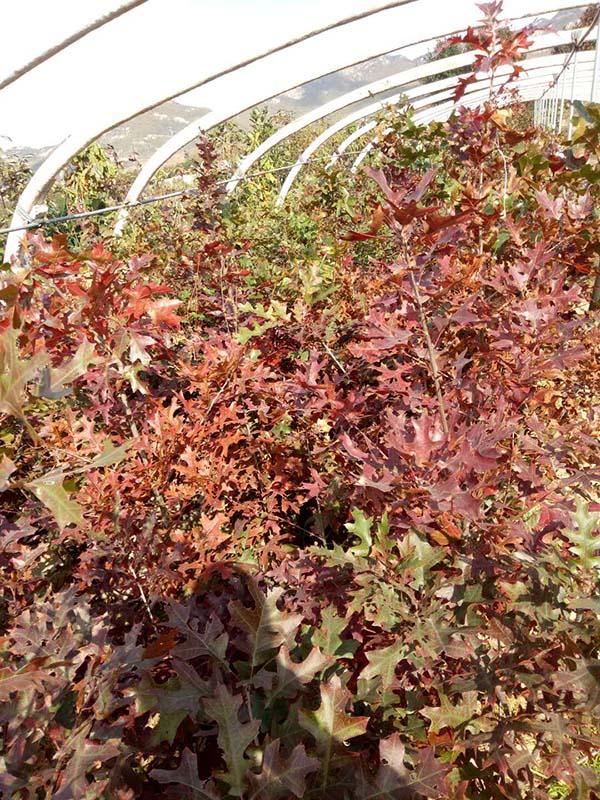 8公分欧洲红栎报价
