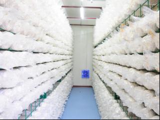 食用菌快速种植,精农科技,食用菌