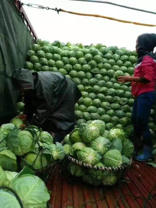 新鲜甘蓝供应,哈尔滨甘蓝,华康蔬菜