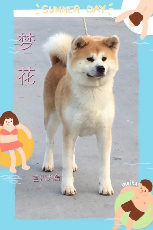 秋田犬、巨洲犬舍、日系秋田犬