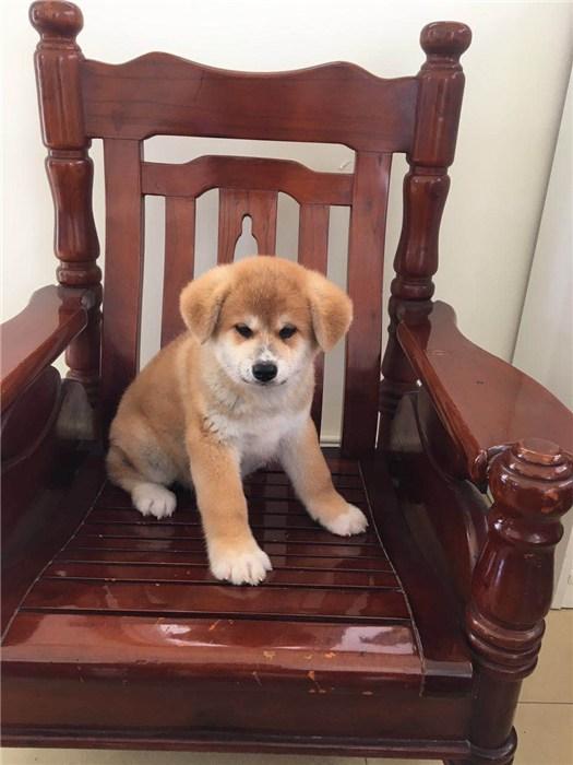 秋田犬|巨洲犬舍|日系秋田犬