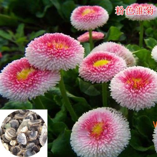 花卉种子|快活林种业|中亚花卉种子