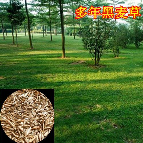 狗牙根草种哪里好图片/狗牙根草种哪里好样板图 (1)