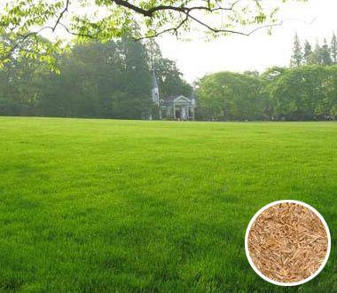 黑麦草种子图片/黑麦草种子样板图 (1)