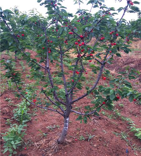 车厘子樱桃图片/车厘子樱桃样板图 (1)