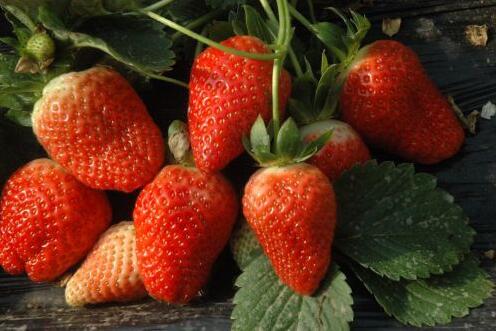 甜心一号草莓苗价格|草莓苗|海之情