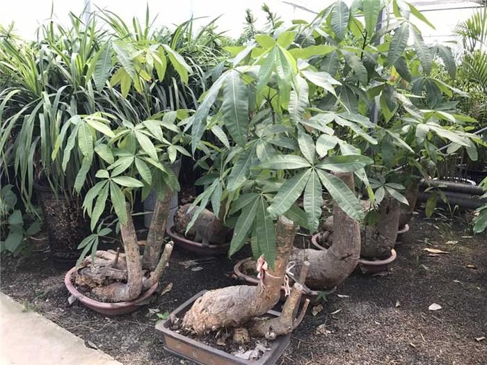 花卉|花卉养殖技术|懋懋园林绿化(优质商家)