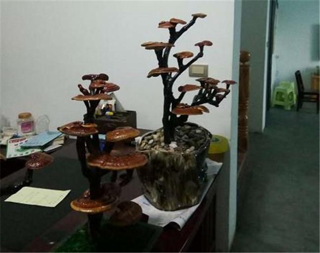 灵芝盆景价格|贤国食用菌|盆景