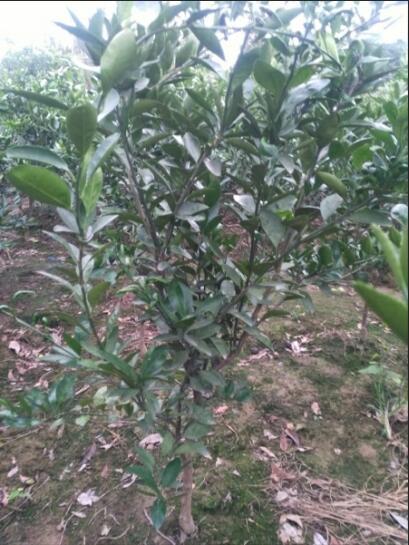 柑橘苗供应销售
