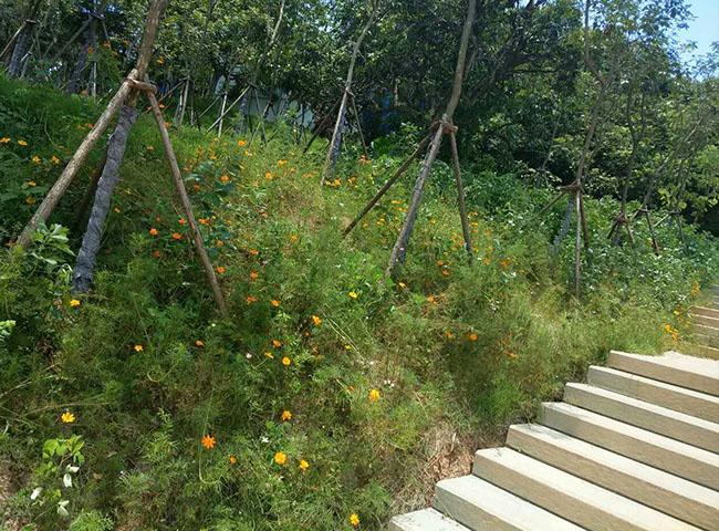 福州芦苇种子_种子_福州景晖生态工程