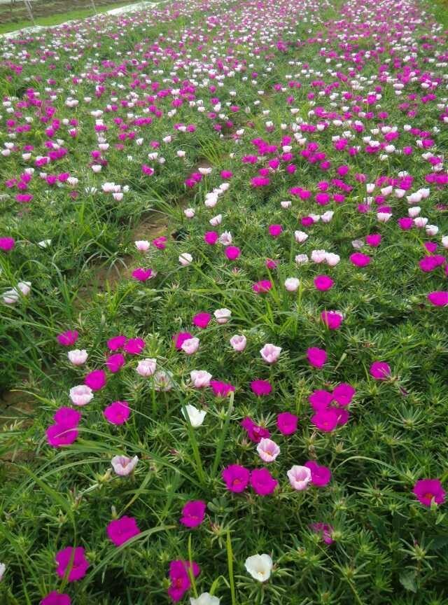 合胜花卉(图)|一年生草花生产|湖北草花