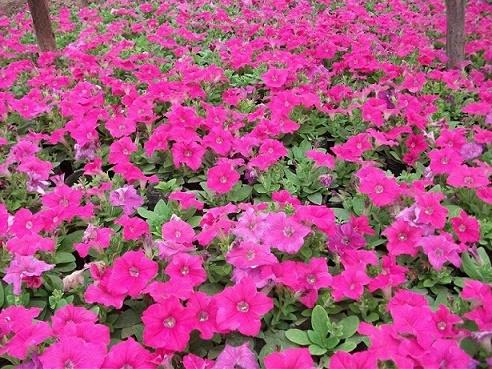 一年生草花生产厂家、黑龙江草花、合胜花卉(查看)