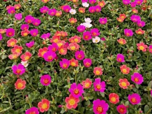 一年生草花生产、陕西草花、合胜花卉