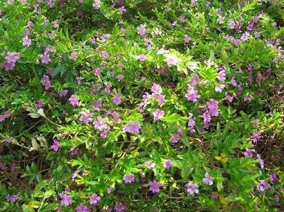 景洪花卉种子|花卉种子批发|景江园林绿化(优质商家)