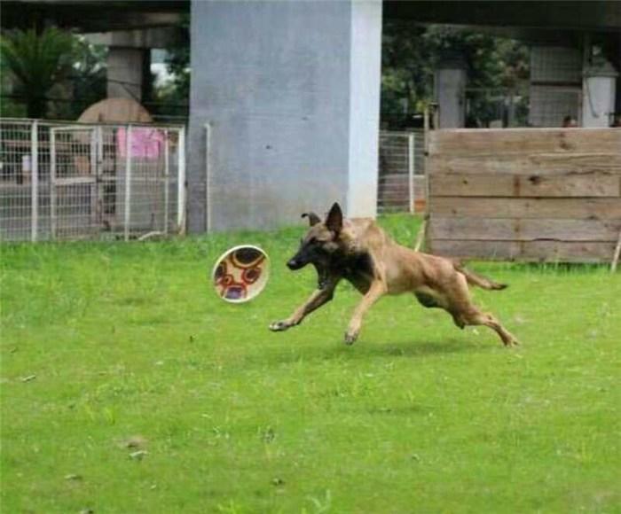 宠物训练|西安和谐宠物|宠物训练飞盘