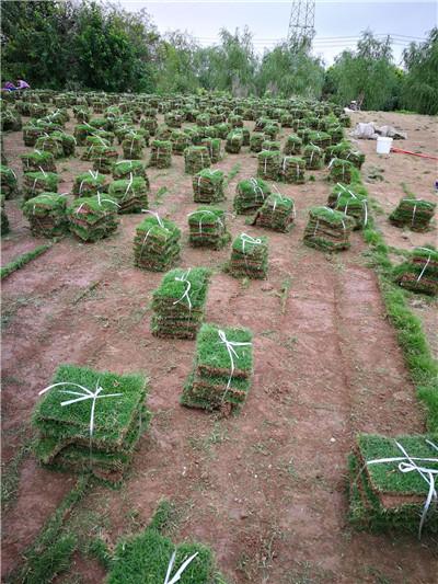 草坪绿化|百慕大草坪订购|荆门草坪
