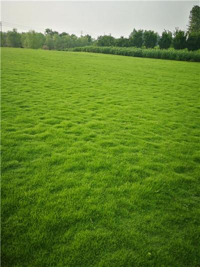 草坪厂家|百慕大草坪订购|荆州草坪