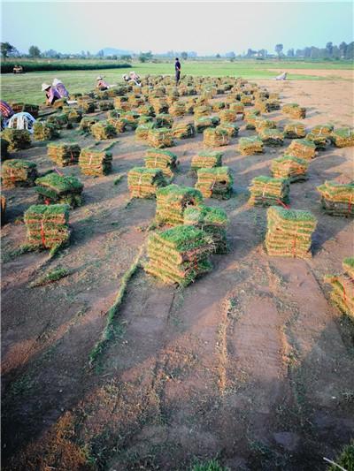 草坪厂家|武汉草坪|百慕大草坪订购