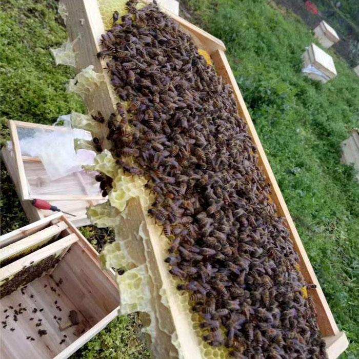 四川中蜂养殖图片/四川中蜂养殖样板图 (1)