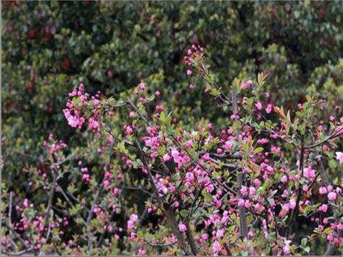 北美海棠苗图片/北美海棠苗样板图 (1)