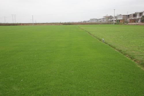 草坪种植基地图片/草坪种植基地样板图 (1)