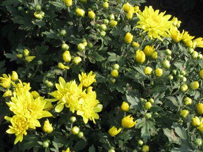 宿根花卉的优点|丰林宿根花卉(在线咨询)|黄冈宿根花卉
