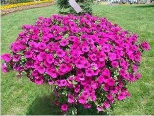 宿根花卉公司、宿根花卉、青州丰林宿根花卉