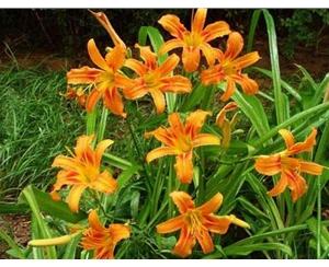 优质宿根花卉|青州丰林宿根花卉公司|汉中宿根花卉