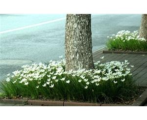 宿根花卉种植基地|宿根花卉|丰林宿根花卉