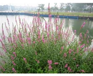 宿根花卉图库、丰林宿根花卉公司、宿根花卉