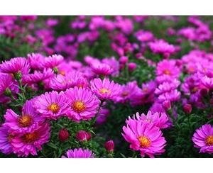 宿根花卉公司|泸州宿根花卉|青州丰林宿根花卉基地
