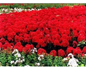 宿根花卉公司,湖州宿根花卉,青州丰林宿根花卉基地