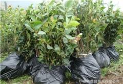 山茶油礼盒、山茶油、油茶苗圃基地(查看)