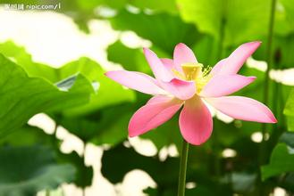水生荷花|恒大花卉|荷花